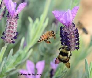 Honeybee and bumblebee on lavendar